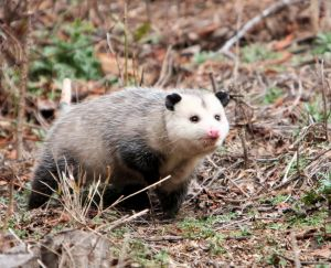 Opossum Charlotte DWI Lawyer North Carolina Criminal Defense Attorney