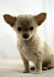 Puppy Chihuahua Charlotte DWI Lawyer North Carolina Criminal Attorney