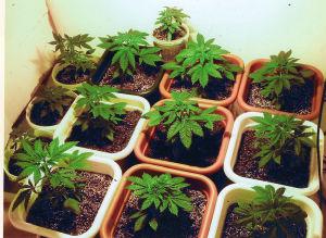 Marijuana-Charlotte-Criminal-Lawyer-Mecklenburg-Drug-Attorney-300x219