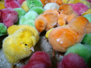 Dyed chicks Charlotte Criminal Lawyer Mecklenburg Defense Attorney