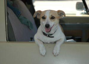 Dog in car window Charlotte Criminal Lawyer